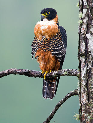 Orange-Breasted-Falcon